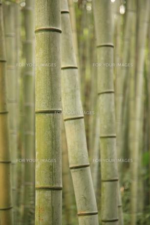竹林の写真素材 [FYI00034862]