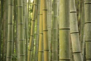 竹林の写真素材 [FYI00034870]