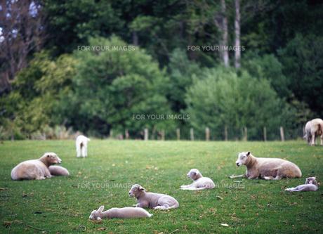放牧の羊の写真素材 [FYI00035221]