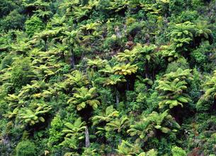 シダ類が群生する山の写真素材 [FYI00035237]