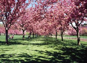 八重桜の写真素材 [FYI00035466]