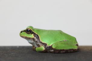 蛙の写真素材 [FYI00036298]