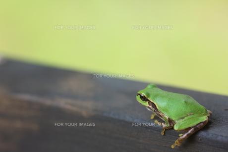蛙の写真素材 [FYI00036301]