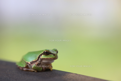蛙の写真素材 [FYI00036307]
