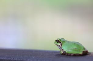 蛙の写真素材 [FYI00036308]