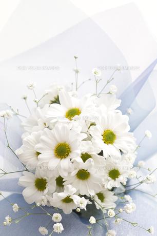 菊の素材 [FYI00036765]