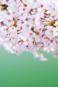桜の写真素材 [FYI00036809]