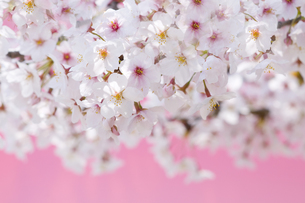 桜の写真素材 [FYI00036817]