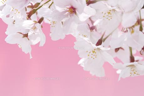 桜の写真素材 [FYI00036820]