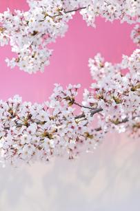 桜の写真素材 [FYI00036822]