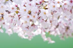 桜の写真素材 [FYI00036825]