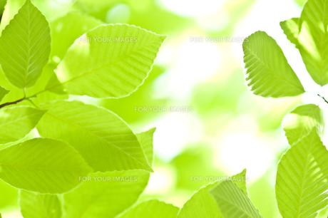 新緑の写真素材 [FYI00036911]