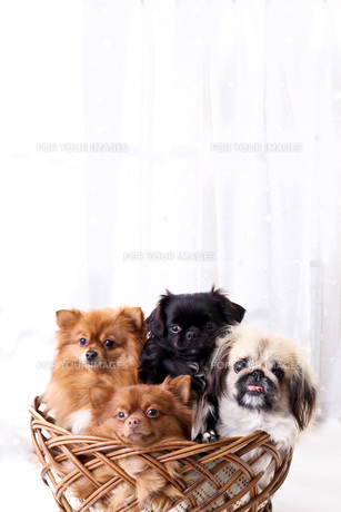 犬の写真素材 [FYI00037297]