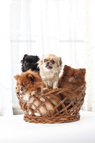 犬の写真素材 [FYI00037300]