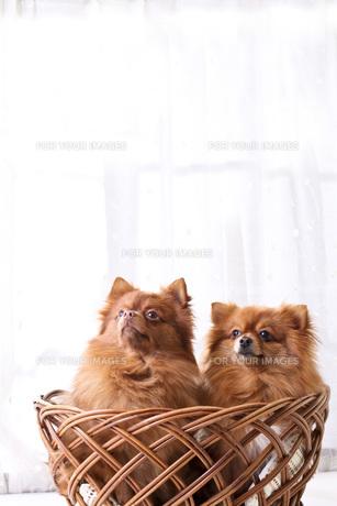 犬の写真素材 [FYI00037311]