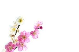 梅の素材 [FYI00037339]