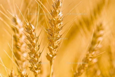 麦の写真素材 [FYI00037594]