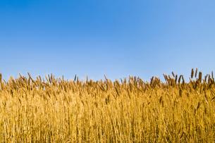 麦畑の写真素材 [FYI00037597]