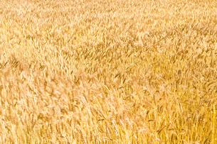 麦畑の写真素材 [FYI00037609]
