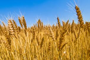 麦畑の写真素材 [FYI00037624]