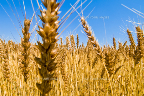 麦畑の写真素材 [FYI00037628]