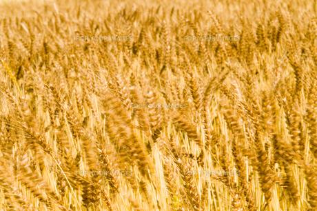 麦畑の写真素材 [FYI00037656]