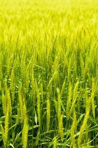 麦畑の素材 [FYI00038053]