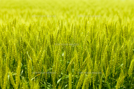 麦畑の素材 [FYI00038056]