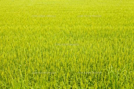麦畑の素材 [FYI00038059]
