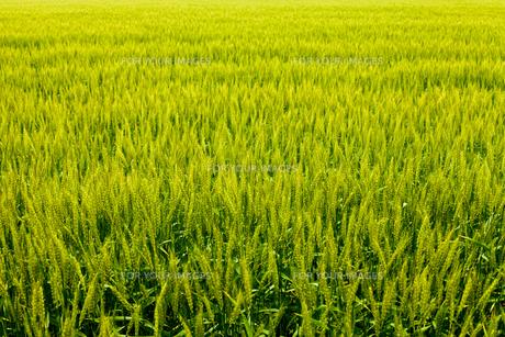 麦畑の素材 [FYI00038071]