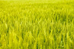 麦畑の素材 [FYI00038072]