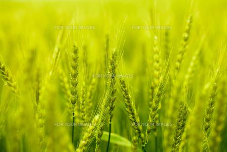 麦畑の素材 [FYI00038073]