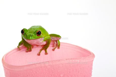 カエルの写真素材 [FYI00038211]