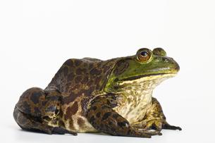 カエルの写真素材 [FYI00038215]