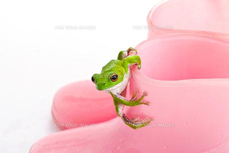 カエルの写真素材 [FYI00038254]