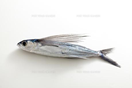 飛び魚の素材 [FYI00038411]