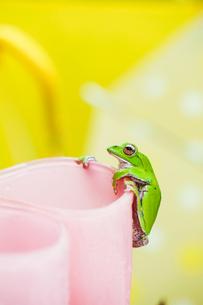 雨上がりのカエルの写真素材 [FYI00038543]