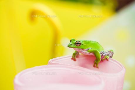 雨上がりのカエルの写真素材 [FYI00038545]