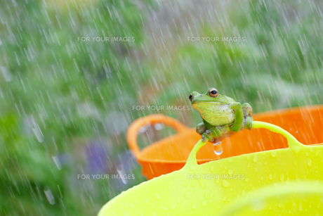 雨とガエルの写真素材 [FYI00038551]