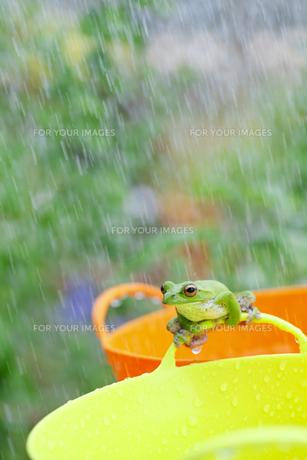 雨とガエルの素材 [FYI00038554]