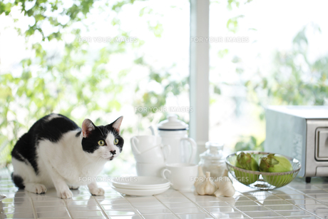 猫の写真素材 [FYI00038834]