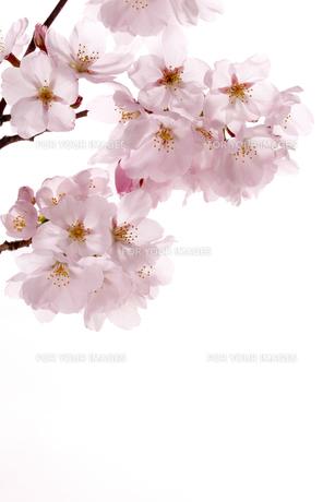 桜の写真素材 [FYI00039522]