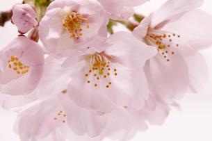 桜の写真素材 [FYI00039528]