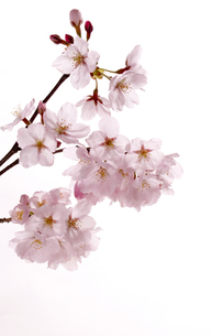 桜の写真素材 [FYI00039533]