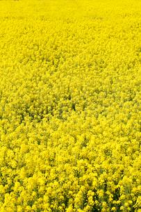 菜の花の素材 [FYI00039545]