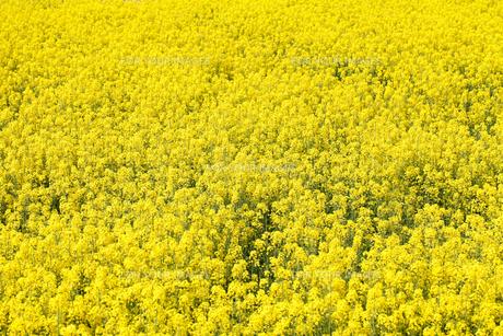 菜の花の素材 [FYI00039565]