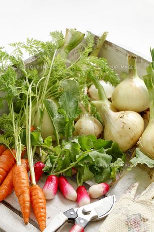 家庭菜園の写真素材 [FYI00039641]