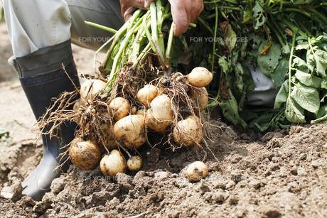じゃが芋の収穫の写真素材 [FYI00039877]