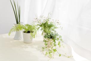 観葉植物とマーガレットの写真素材 [FYI00040351]