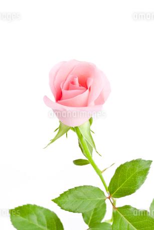 薔薇の花の写真素材 [FYI00040380]